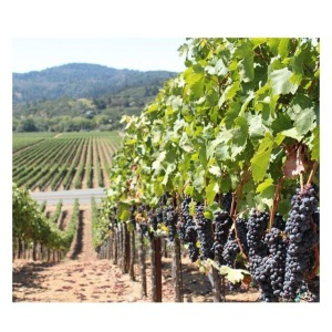 Sonoma Valley Grapevines