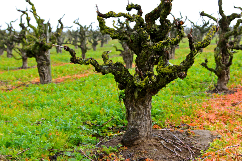 Old Vine Zinfandell at Wegat Vineyard, Lodi